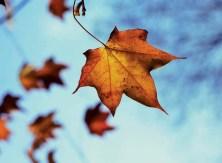 Close-Up of Autumn Maple Leaf --- Image by © Martin Child/Brand X/Corbis